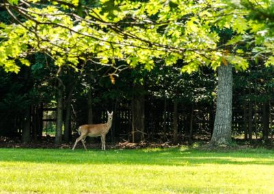 deer at Estates Of Chancellorsville
